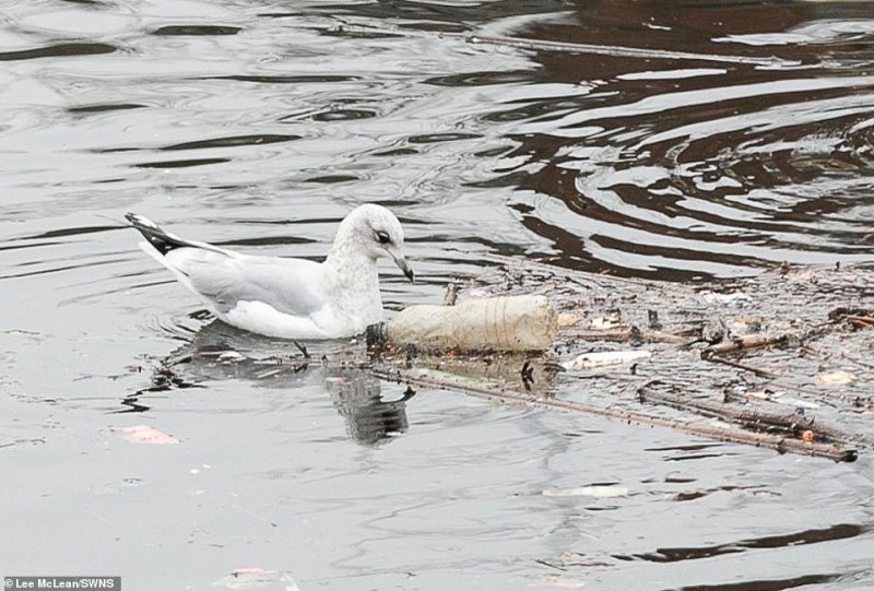 Threat to wildlife: A seagull pecks at a discarded plastic bottle in Manchester Ship Canal, Salford