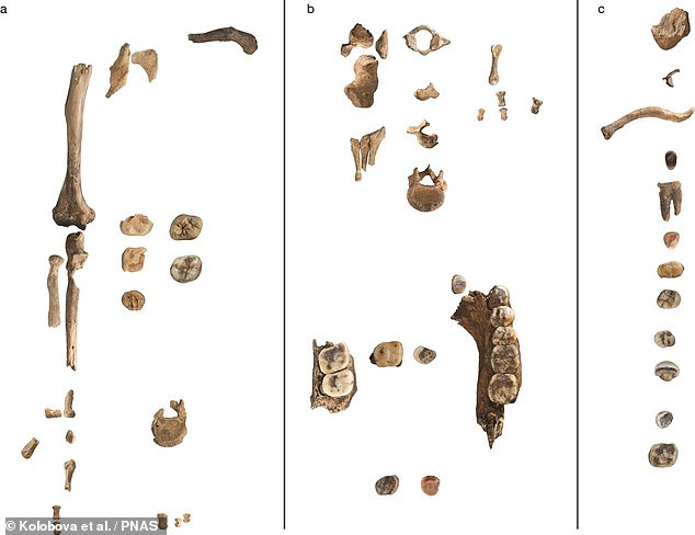 The researchers also reconstructed the environmental conditions of that time based on the animal and plant remains — which suggested both that the climate was cold and dry and that the Neanderthals would have hunted bison and horses to survive. Pictured, an overview of the remains found inChagyrskaya Cave. The teeth and head fragments are not to scale