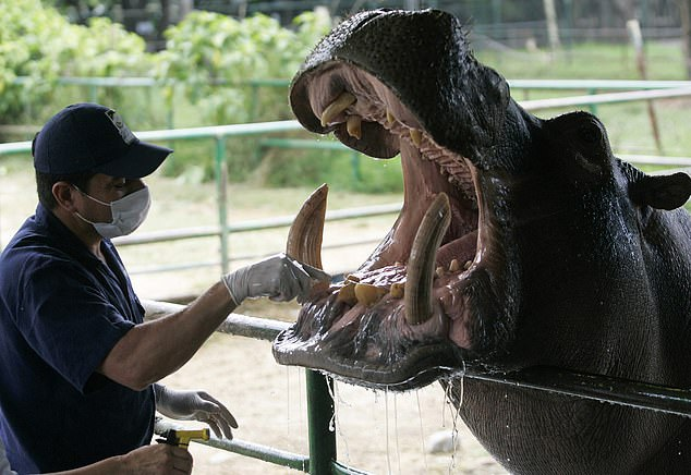 Pictured: a vet preps one of Escobar's hippos for dental treatment. The four original hippos now number around 80 to 100, and their presence has been criticised for having a detrimental effect on Colombian waters