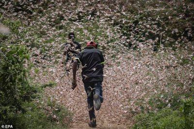Homens correm por um enxame de gafanhotos do deserto para persegui-los no mato perto de Enziu, Kitui County, cerca de 200 km a leste da capital Nairobi