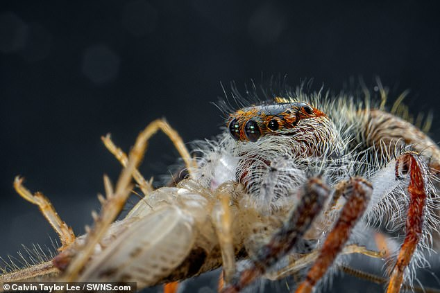 The tiny model — which belongs to the species Hyllus diardi — sports four pairs of eyes which give it incredible vision to help catch its prey