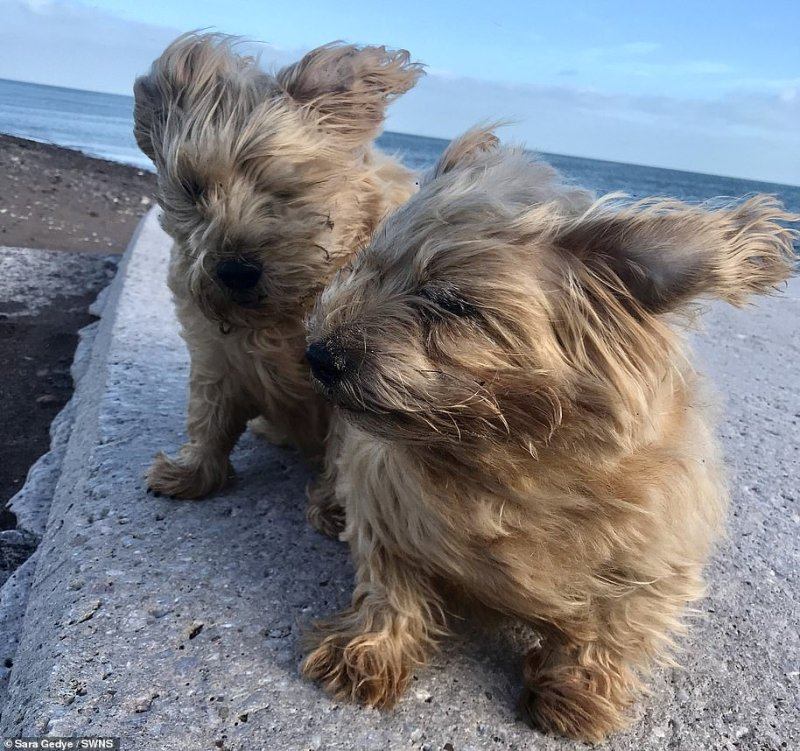 Hardy Norfolk terriers Ruby and Dora were captured with their fur fluttering heavily as strong gusts swept through inShaldon, Devon