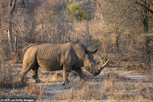 Rhino populations in Kruger National Park are estimated to be between 7,000 and 8,000, and the number of annual deaths from poaching have slowly declined since Meerkat was implemented