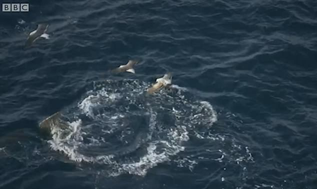 The incredible footage showed the seal swimming next to the great white sharks tail as it attempted to avoid its jaws in an undisclosed location