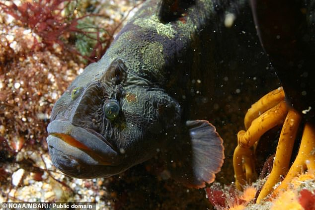 The vegetarian Monkeyface prickleback fish is said to be very high in protein and efficiently processes the lipids in algae that it feeds on
