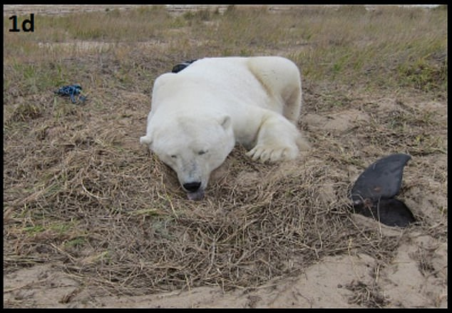 In rare instances when a polar bear was unable to finish eating a seal t had recently killed, it would sometimes bury it in the ground and guard the site from other predators, a common behavior among other bear species but one that's rarely been documented among polar bears