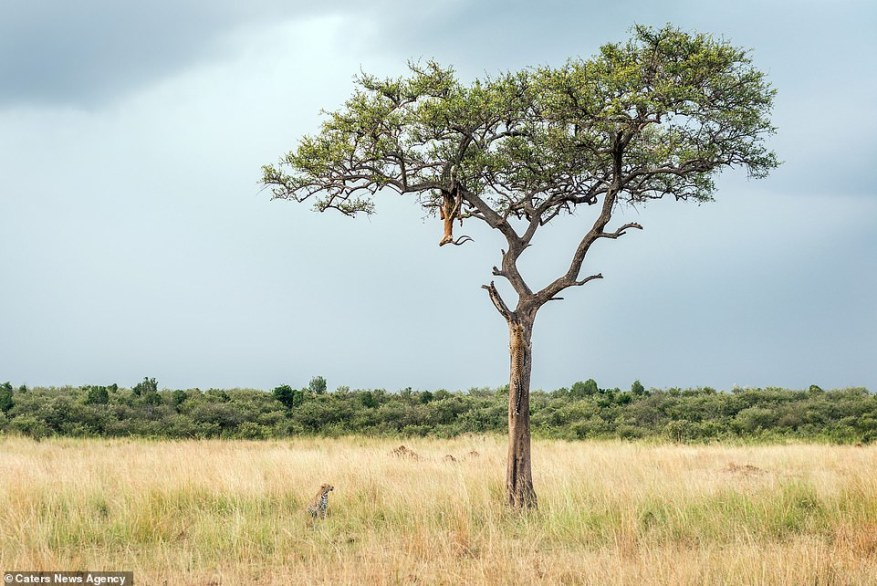 The body of an impala hangs from a tree as it defends itself from the predator leopard waiting in the grass below