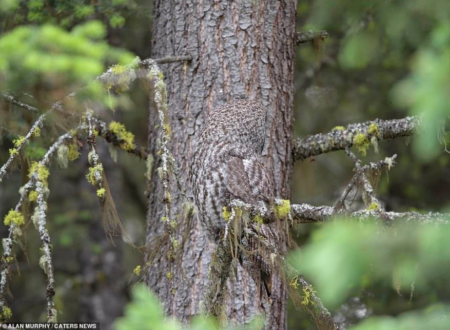 An owl blends into the tree branch behind as it turns its head. The photos were taken by wildlife photographer Villager Tim