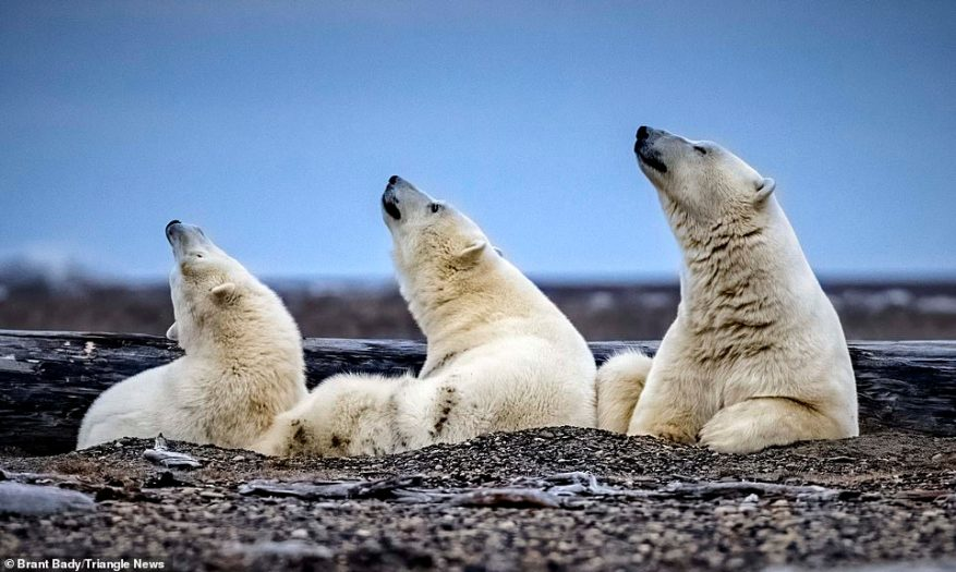 Breathtaking photographs show a family of polar bears appearing to pose while in their natural habitat in Alaska