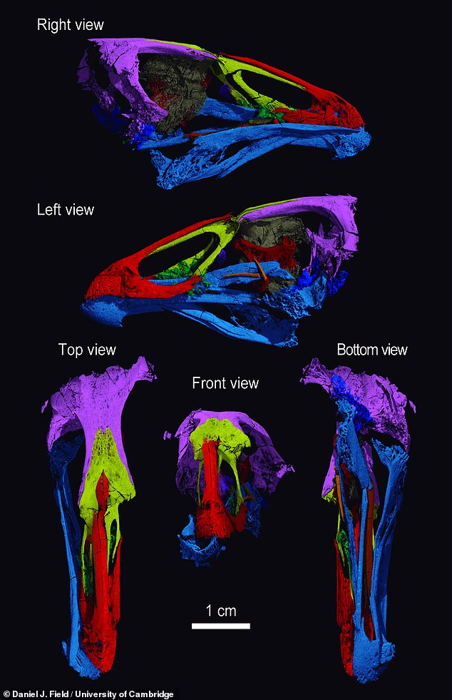 A high resolution CT scan of the fossil helped the researchers determine that the Wonderchicken was a small-bodied, likely ground-dwelling bird