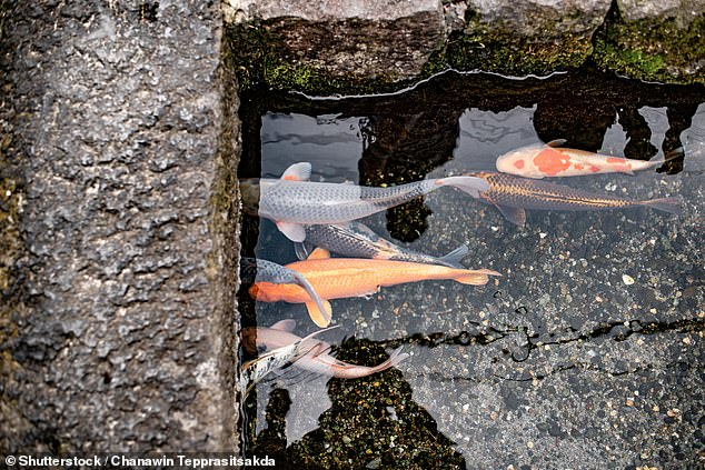 The carp - a revered fish in Japan - come in all shapes and sizes
