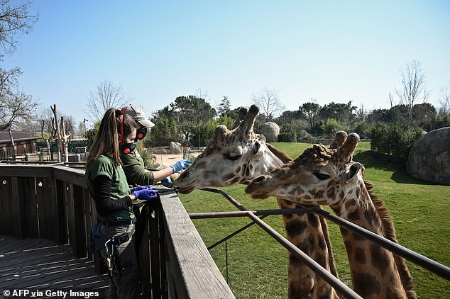 Zookeepers are pictured feeding two giraffes in Cumiana during Italy's coronavirus lockdown