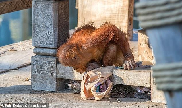Une autre image montre le plus jeune orang-outan, Berani, qui semble jouer à cache-cache avec une loutre reposant sous une plate-forme en bois