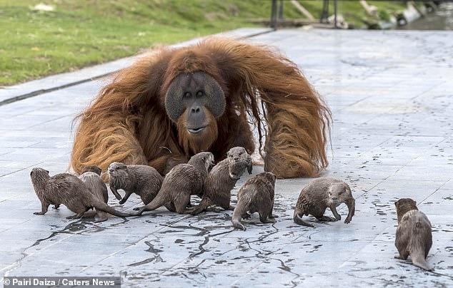 Des photographies montrent la famille des orangs-outans - Ujian, 24 ans, Sari, 15 ans et leur fils Bernai, trois ans - observant leurs amis insolites en courant autour de l'enceinte