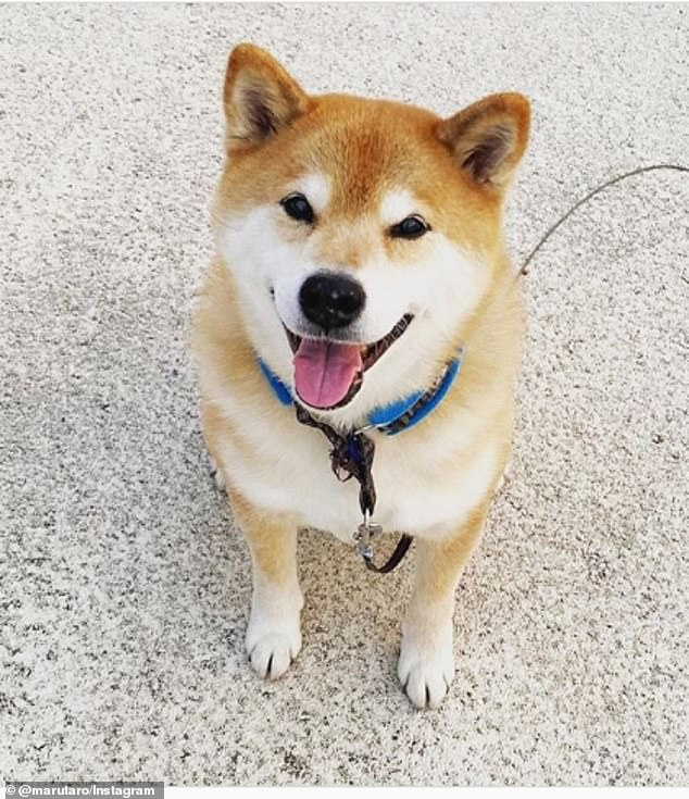 Beautiful: Maru , a Shiba Inu living in Japan, has 2.5 million Instagram followers, and is estimated to be worth $11,723 per post