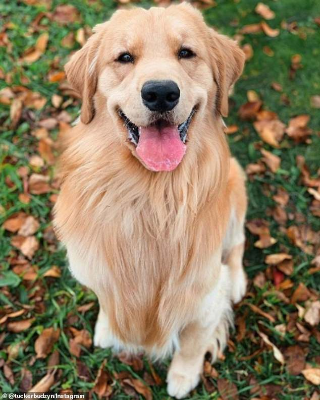 Ruff! Tucker the Golden Retriever not only has 2.4 million Instagram followers — he also has 1.8 million subscribers on YouTube. He could command $10,745 per post