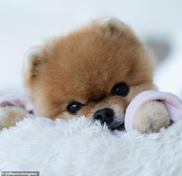 Making bank! JiffPom has a whopping 10 million followers who love pictures of the pup in cute outfits — and this Pomeranian tops the list of Pet-fluencers
