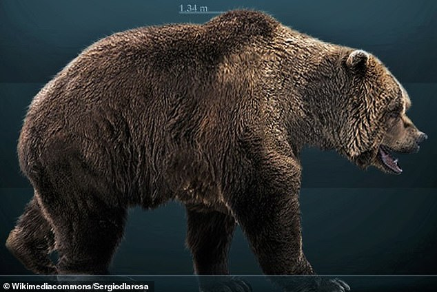 Pictured, an artist's impression of a cave bear. Known scientifically as the Ursus kudarensis praekudarensis and also referred to as the Caucasian cave bear, got their name from their annual habit of hibernating in caves during the winter. They weighed up to a tonne, more than twice the mass of a male polar bear, which is the world's largest land carnivore alive today