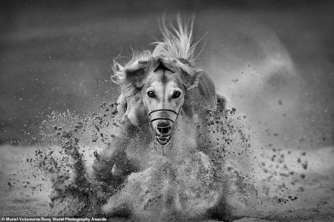 This dramatic image of a greyhound training for a race as sand blows up in its face was snapped by Belgian photographer Muriel Vekemans. It was shortlisted in the motion category