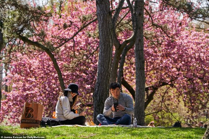 Two people are pictured in Central Park Sunday surrounded by flowering trees
