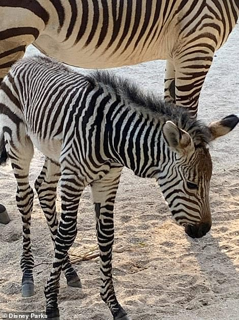 New zebra foal, Asha, born at the end of March in Animal Kingdom