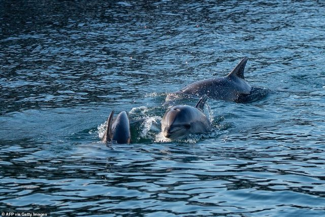 TURKEY: Dolphins swim in the Bosphorus Strait, where sea traffic has nearly come to a halt in Istanbul on April 26