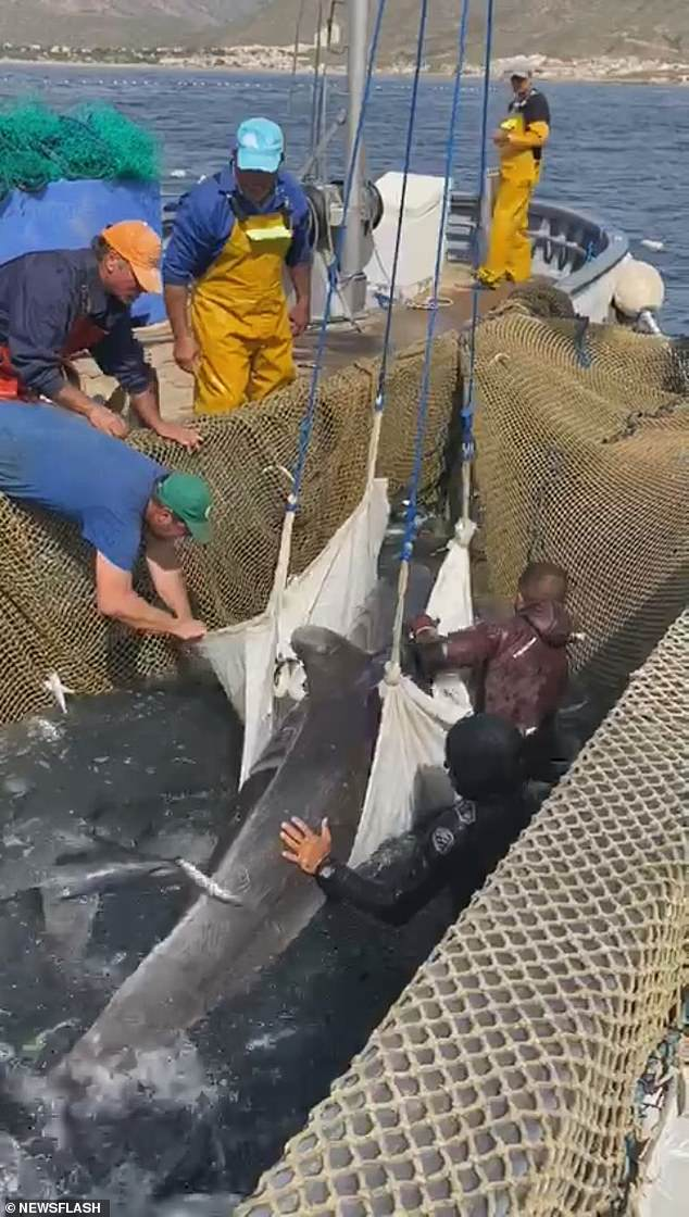 Spanish fishermen from tuna fishery Almadraba La Azohia got into the water to help lift trapped the trapped dolphin