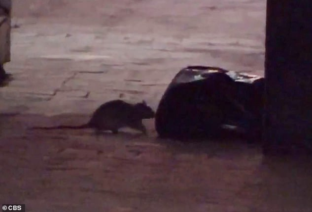 As restaurants closed, except for take-out, much less food waste was dumped in alleys or trash cans, causing the local rodent population to search for trash.