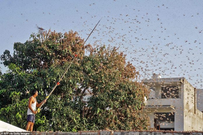 In this photograph taken on Monday a resident tries to fend off swarms of locusts from a mango tree in a residential area of Jaipur in the Indian state of Rajasthan