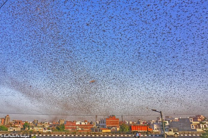 Photographs taken this week in Jaipur, one of 33 Rajasthan districts, show millions of the insects ravaging fields and covering walls as swarms continue to destroy harvests across the country