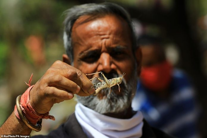 One man grabbed a locust to show the size of the insects. Each locust can range in size between 0.5 and three inches long. They come from the same family as grasshoppers and can be either solitary or gregarious, meaning social