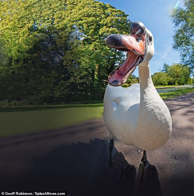 The grandson of vicious swan Mr Asbo has been up to his old tricks attacking visitors to Cambridg but this time he has come ashore as the river is empty due to lockdown