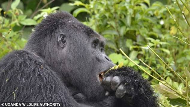 The 25-year-old male was the leader of a group of 17 endangered mountain gorillas, called Nkuringo