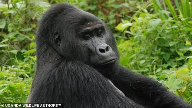 Silverback gorilla Rafiki, 25, was found stabbed to death at the Bwindi Impenetrable National Park, Uganda