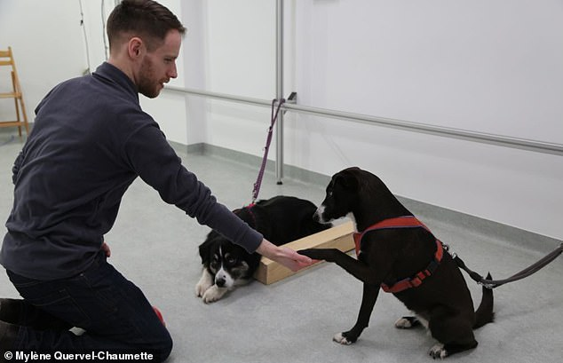 Cooperative worker dog breeds do not appear to respond more negatively to unfair outcomes than do independent worker breeds, according to the study