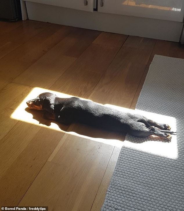 That's the spot! This US-based Dachshund is an expert at finding the perfect, warm location for his afternoon naps