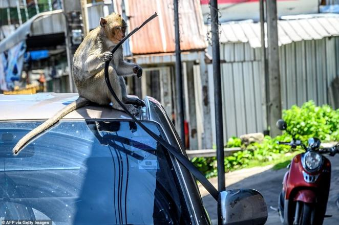 A monkey pulls a rubber strip off the roof of a car in Lopburi - an incident that residents say is becoming more frequent now there are no tourists to occupy them