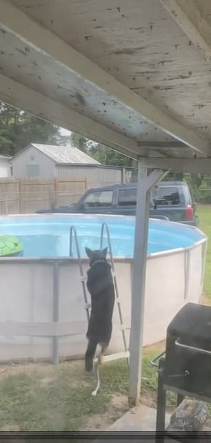 Elliot the German Shepard-husky mix shows off his ladder-climbing skills before jumping into his owner's pool in Fayetteville, North Carolina