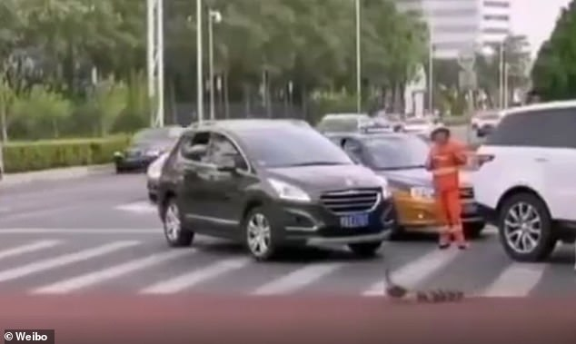 This is the touching moment Chinese police stop the flow of traffic to help a family of ducks cross safely. The picture shows a screenshot of the footage as the animals entering the road