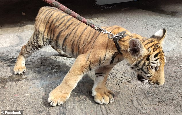 Members of Mexico's National Guard were patrolling the western city of Zamora last week when then encountered a man who was walking a female bengal on the side of a road that connects the cities ofMorelia and Jiquilpan