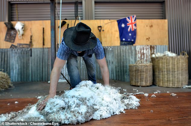 The majority of Australian wool currently ends up in China to be produced into clothing. Pictured is a Queensland sheep shearer hard at work