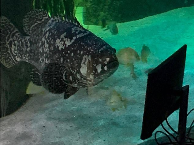 Con-dragulations: After Finding Nemo failed to impress, worried keepers found that RuPaul was an instant hit with the grouper