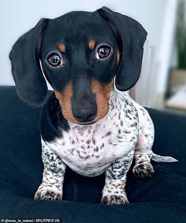 Adorable: Moohas very distinct piebald fur, which is when an animal has unpigmented, white, spots on a pigmented background