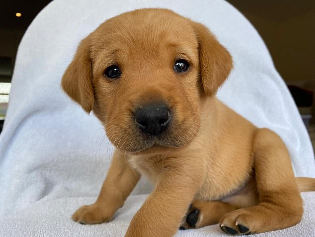 Ruff justice? The red fox labrador puppy Suzanne Jannese and daughter Riley were hoping to buy from Marisha Romer is pictured above