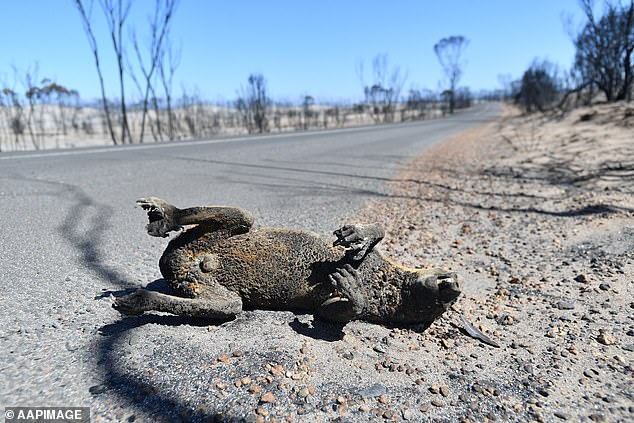 A dead koala is seen at the Flinders Chase National Park after bushfires swept through Kangaroo Island on January 7
