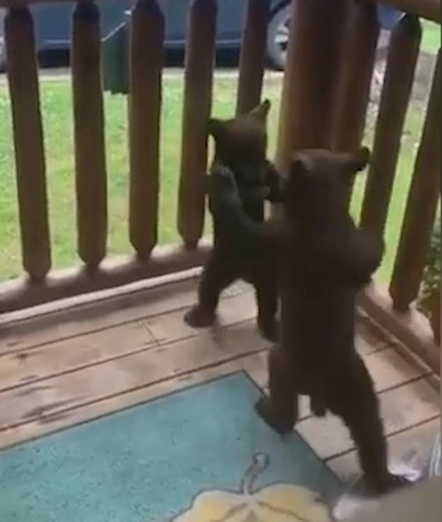 Two cubs broke off from their sibling and mother to play-fight with each other on a family's deck inGatlinburg, Tennessee