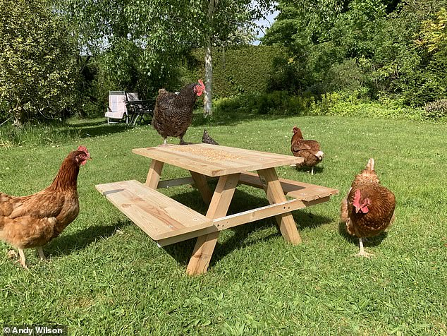Andy did his DIY on the 'cheep' using leftover wood to produce his so-called 'chicknic table'. His whole family chipped in to help and the hens certainly seem pleased with the result