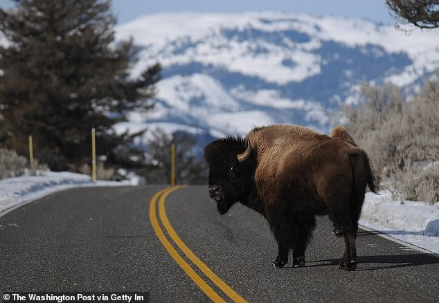 A bison is pictured in Yellowstone National Park in March. Park rangers say that the creatures can become aggressive when they feel threatened