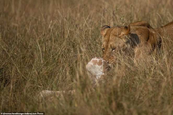 After taking down the young giraffe the lioness dragged its body away to eat, which was watched by the mother who refused to leave until the grisly spectacle was over