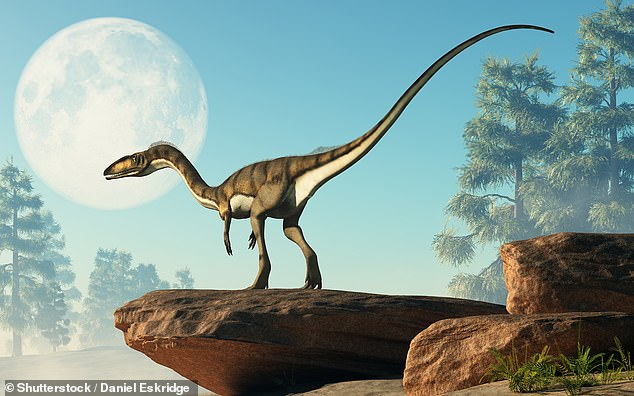 The results suggest that dinosaurs similar to coelophysis, pictured, may have walked just like guinea fowls. The researchers said this showed the evolutionary advantage of the movement